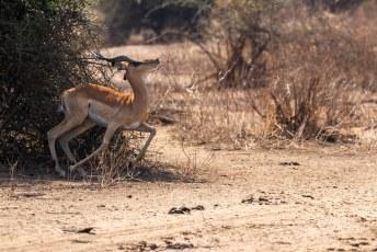 Dit is een mannetjes impala, of rooibok (Aepyceros melampus) die nogal haast had om weg te komen.