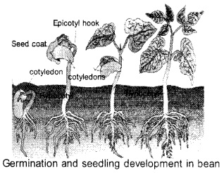 Plus One Botany Notes Chapter 11 Plant Growth and Development