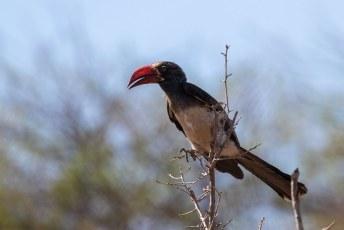 Dit is de Kuiftok (Lophoceros alboterminatus), in het Engels: Crowned Hornbill.