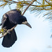 Corbeau freux - Corvus frugilegus - 26 décembre 2018
