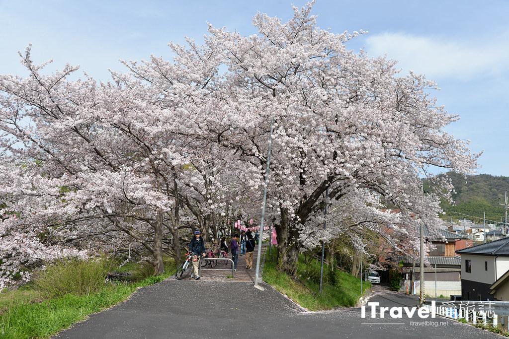 京都賞櫻景點 井手町玉川堤 (12)