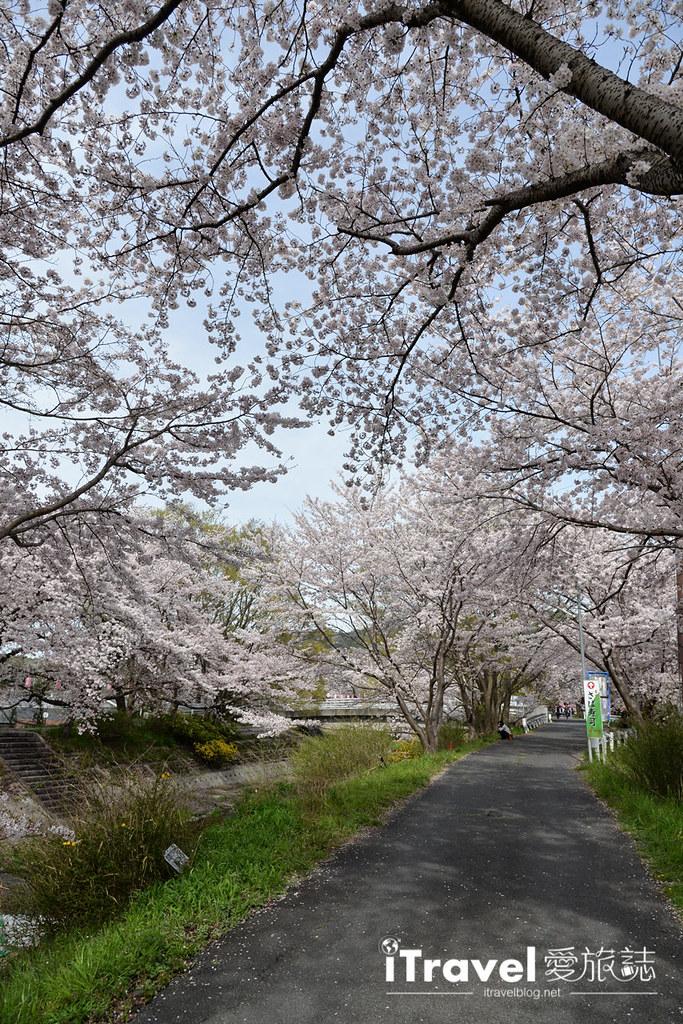 京都賞櫻景點 井手町玉川堤 (25)