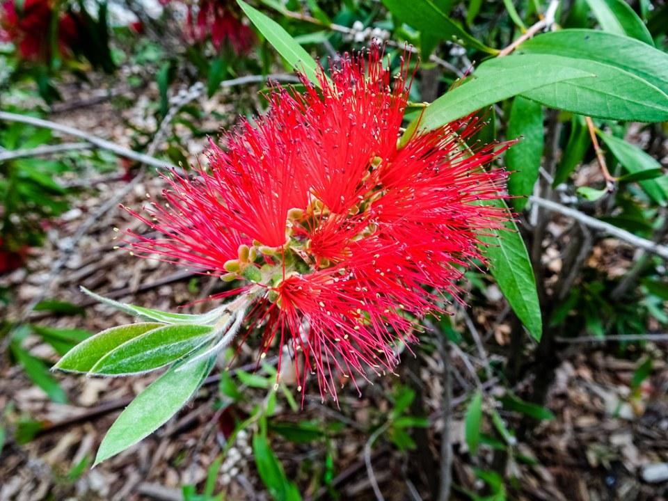 árbol del cepillo escobillón rojo Callistemon citrinus Parque del Retiro Madrid 02