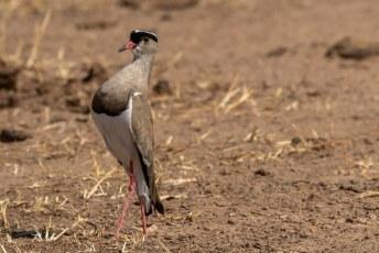 Hier hebben we een boze diadeem kievit (Vanellus coronatus), blijkbaar was zijn nest vlakbij.