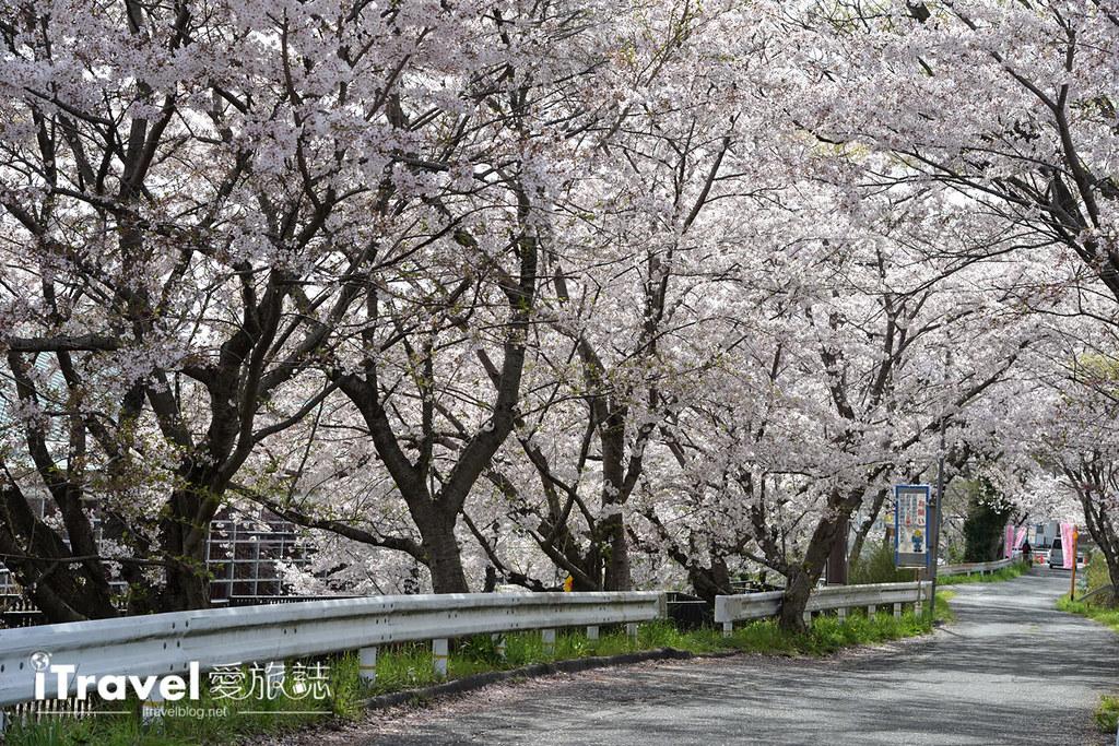 京都賞櫻景點 井手町玉川堤 (15)