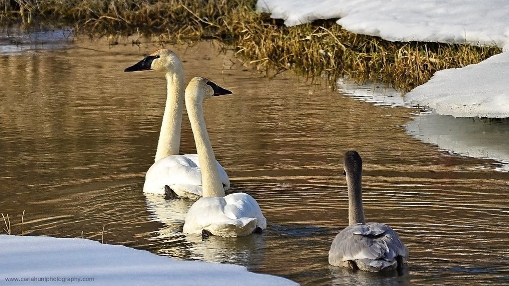 Trumpeter Swans, Enderby, BC