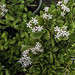 Flowering Jade Plant