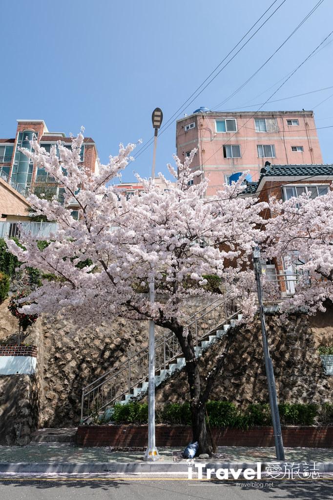 釜山賞櫻景點 東大新洞望洋路 (45)
