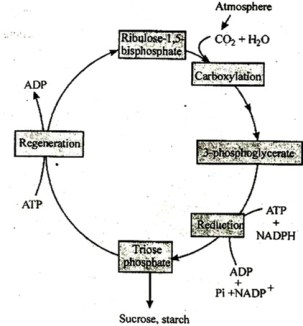 Plus One Botany Notes Chapter 9 Photosynthesis in Higher Plants 10