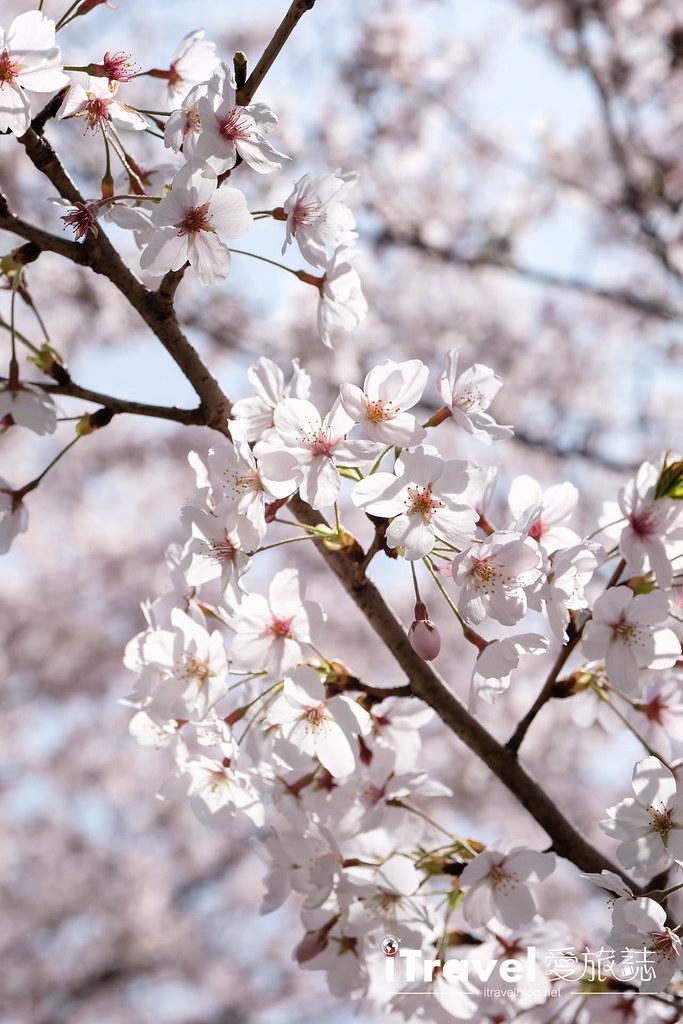 福岡賞櫻景點 美野島南公園 (10)