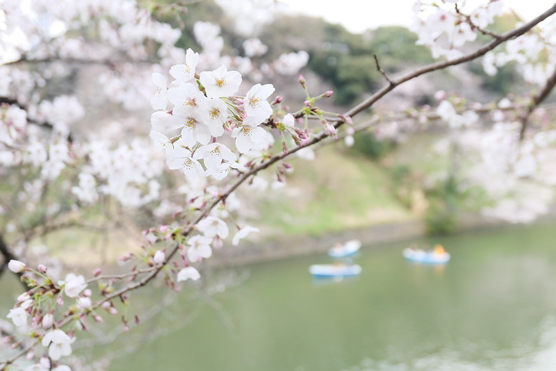 Sakura in full bloom at Chidorigafuchi, Tokyo 06