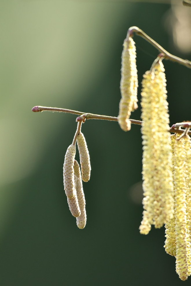 John week 07 catkins with rimlighting