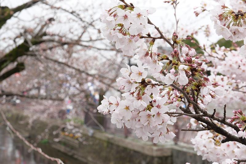 八瀬川桜まつり Yasegawa Cherry blossoms festival 10