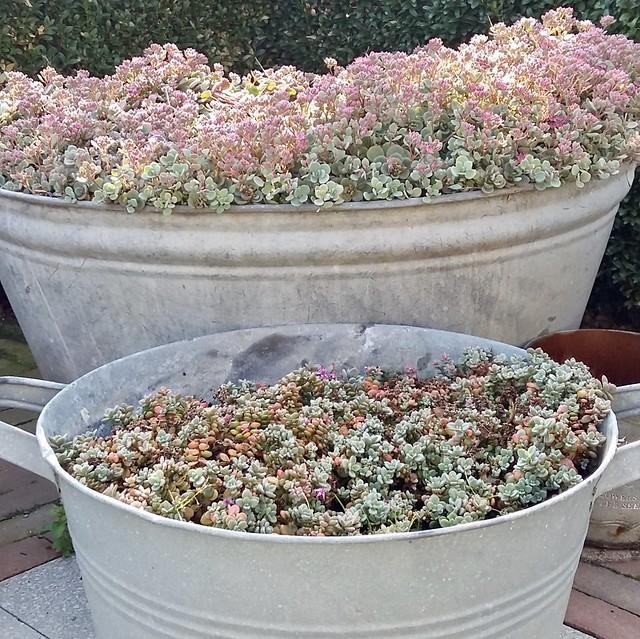 Vetplantjes in zinken teil