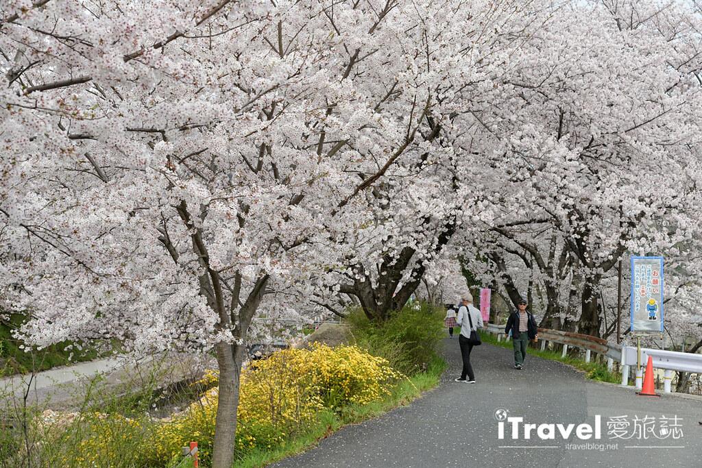 京都賞櫻景點 井手町玉川堤 (29)