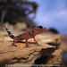 Thick-tailed Gecko sunset emergence