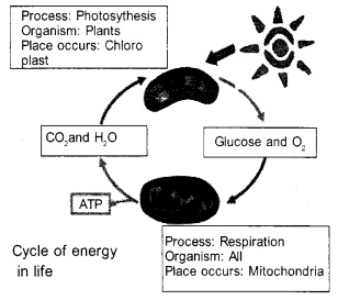 Plus One Botany Notes Chapter 10 Respiration in Plants