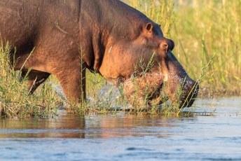 Daar voelen ze zich nl. het veiligste. Ga dus nooit tussen een nijlpaard en het water in staan, want dan gaan ze dwars door je heen.