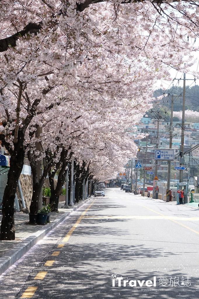 釜山賞櫻景點 東大新洞望洋路 (27)