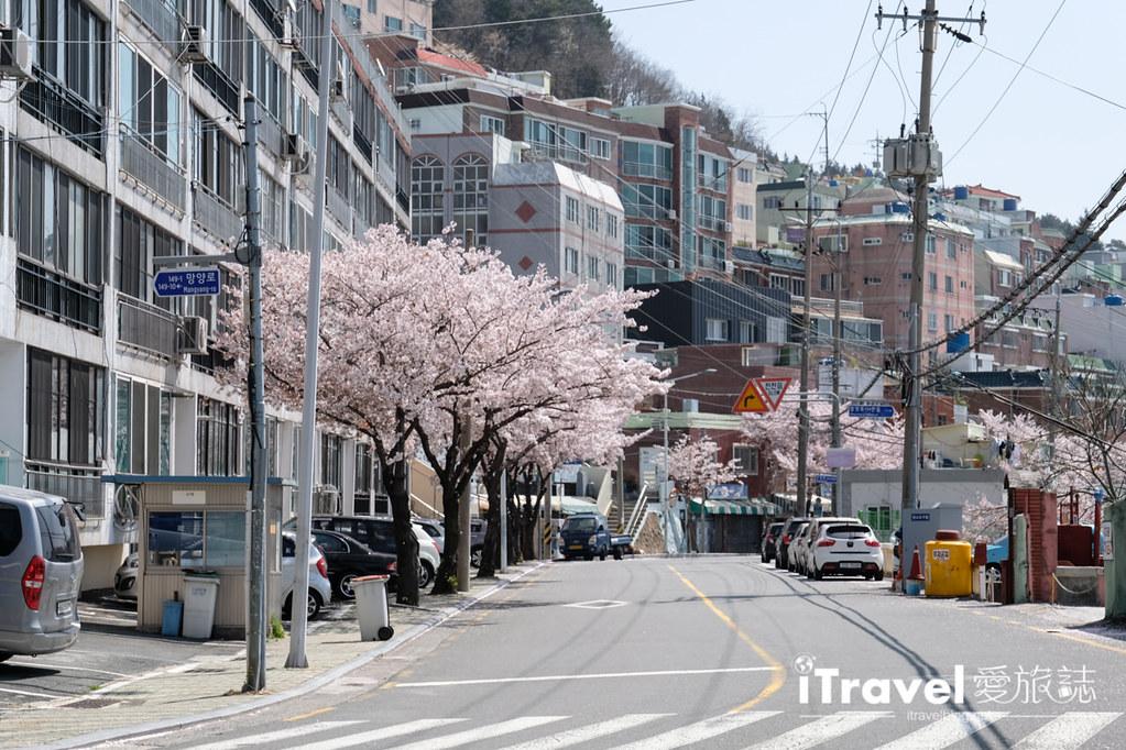 釜山賞櫻景點 東大新洞望洋路 (14)