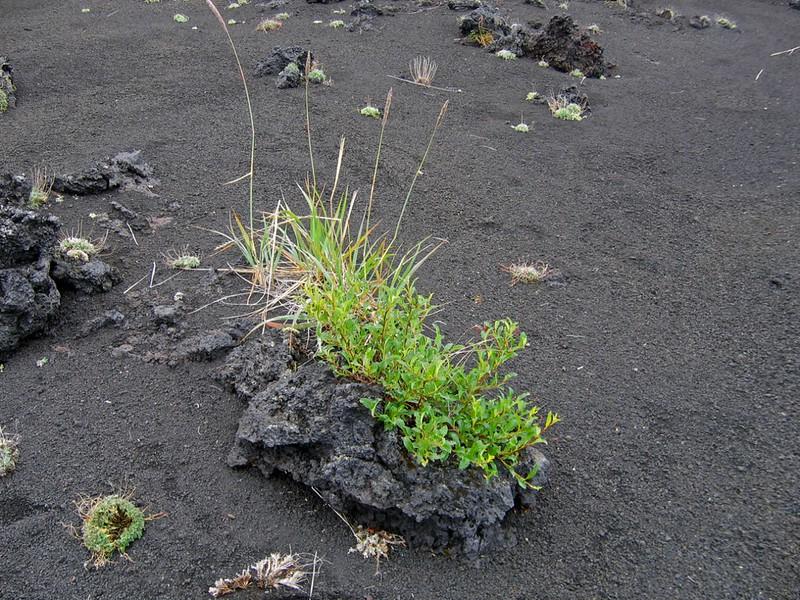 Растительность на вулканическом камне, Камчатка