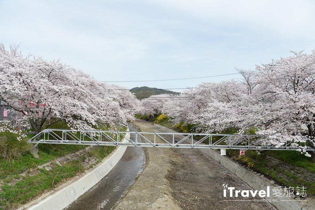京都賞櫻景點 井手町玉川堤 (32)