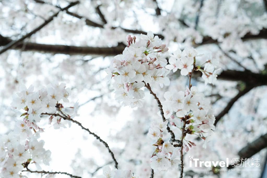 福岡賞櫻景點 西公園Nishi Park (10)