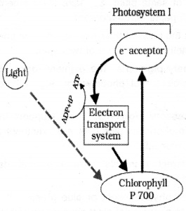 Plus One Botany Notes Chapter 9 Photosynthesis in Higher Plants 9