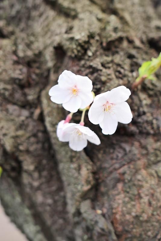 Sakura in full bloom at Chidorigafuchi, Tokyo 07