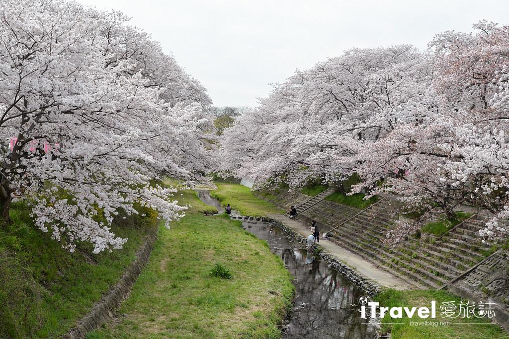 京都赏樱景点 井手町玉川堤 (45)