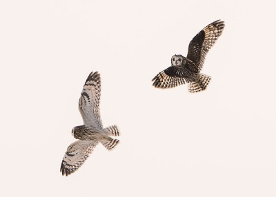 Short-eared Owls_Aerial Combat