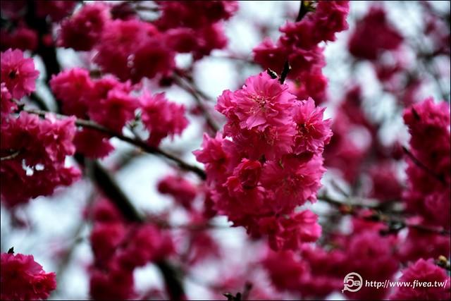 派出所櫻花