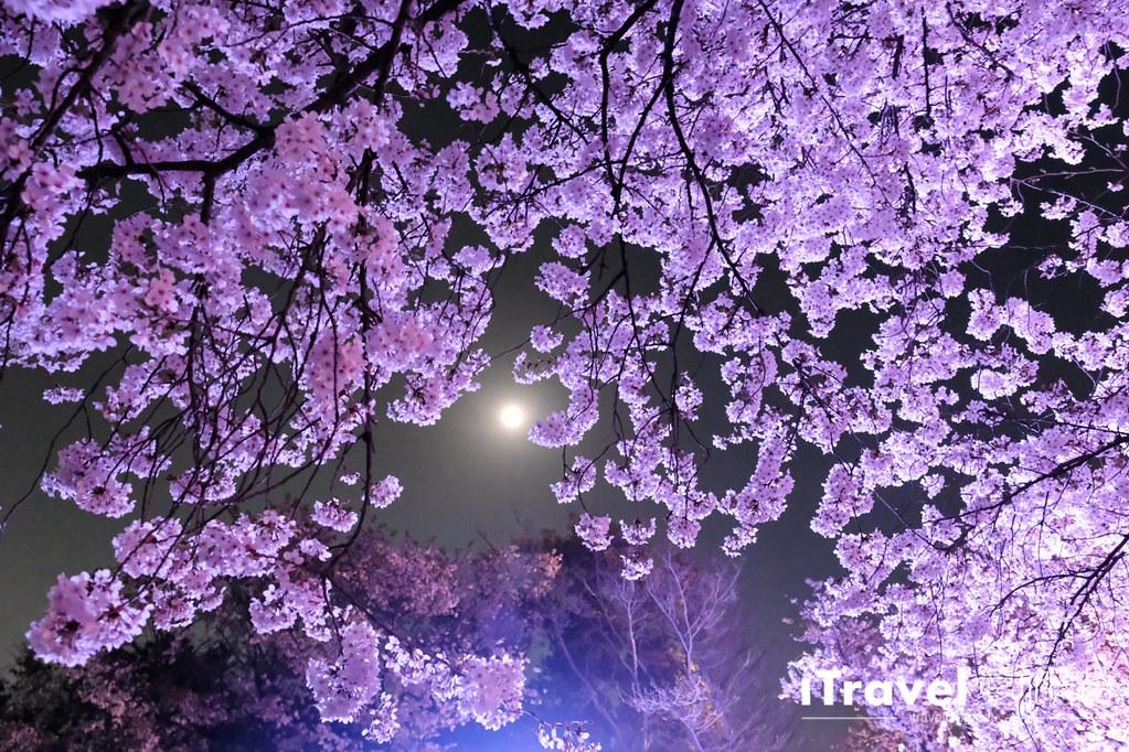 賞櫻景點 福岡城夜櫻 (75)