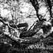 160910 Multiexposed wry pine