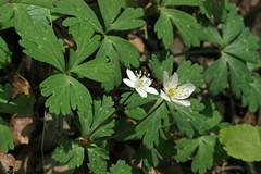 新治市民の森のニリンソウ(Flower, Niiharu Community Woods)