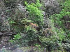 Trumpet vine at Abrams Creek Falls