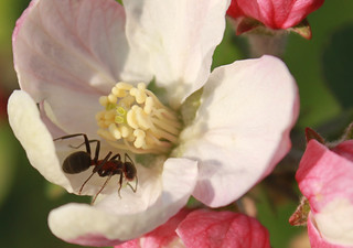 Ant-climbing-on-apple-flowers__41042