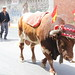 """2012-07-29-feria-almoradi-desfile-animales-tradicionales • <a style=""""font-size:0.8em;"""" href=""""http://www.flickr.com/photos/51501120@N05/7669700278/"""" target=""""_blank"""">View on Flickr</a>"""