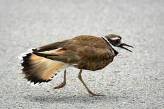Killdeer Broken Wing Display