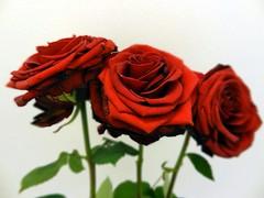Three Roses of Love