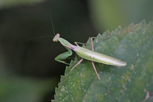 新治市民の森のハラビロカマキリ(Mantis at Niiharu Community Woods, Yokohama, Japan)