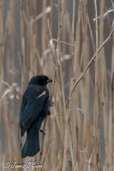 Bombay Hook NWR - Redwing Blackbird (1 of 2)