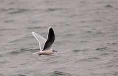 Adult little gull