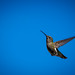 """20130518-Humming-Bird-0015 • <a style=""""font-size:0.8em;"""" href=""""http://www.flickr.com/photos/41711332@N00/8758948177/"""" target=""""_blank"""">View on Flickr</a>"""