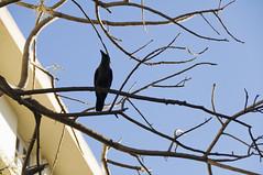 Shady Crow