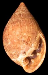 Native Marianas snail shell