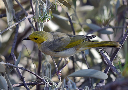"""White-plumed Honeyeater - Glen Helen - NT • <a style=""""font-size:0.8em;"""" href=""""http://www.flickr.com/photos/95790921@N07/8745703919/"""" target=""""_blank"""">View on Flickr</a>"""