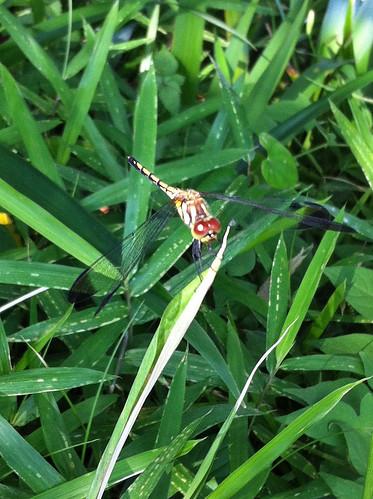 青山霊園のノシメトンボ(Dragonfly at Aoyama cemetery)