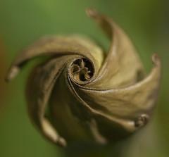 Fibonacci Pinwheel Datura