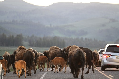 Herd of Bison cross the road.